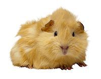 Guinea Pig Stock Photo - Premium Royalty-Freenull, Code: 6106-05623071