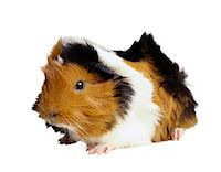 Guinea Pig Stock Photo - Premium Royalty-Freenull, Code: 6106-05623090