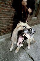 Angry Dog, Barking Stock Photo - Premium Royalty-Freenull, Code: 6106-05626158