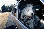 Dog Riding in a Car Stock Photo - Premium Royalty-Free, Artist: Zoomstock, Code: 6106-05626175