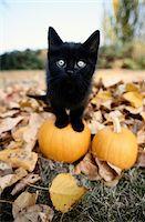 Black Kitten Standing on Top of a Pumpkin Stock Photo - Premium Royalty-Freenull, Code: 6106-05626178
