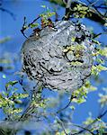 Wasp Nest in tree, Spring, low angle view (selective focus) Stock Photo - Premium Royalty-Free, Artist: dk & dennie cody, Code: 6106-05636208