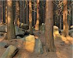Conifer Forest, Schierke, Harz National Park, Harz, Saxony-Anhalt, Germany