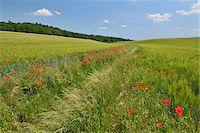 Red Poppies in Field of Grain, Blankenburg, Harz, Saxony-Anhalt, Germany Stock Photo - Premium Royalty-Freenull, Code: 600-05642072