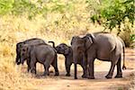 Group of Elephants, Udawalawe National Park, Sri Lanka Stock Photo - Premium Rights-Managed, Artist: R. Ian Lloyd, Code: 700-05642170