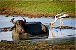 Water Buffalo and Painted Stork, Udawalawe National Park, Sri Lanka Stock Photo - Premium Rights-Managed, Artist: R. Ian Lloyd, Code: 700-05642175