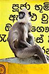 Langur Monkey, Kiri Vehera, Kataragama, Sri Lanka Stock Photo - Premium Rights-Managed, Artist: R. Ian Lloyd, Code: 700-05642185