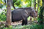 Elephant, near Tissamaharama, Sri Lanka Stock Photo - Premium Rights-Managed, Artist: R. Ian Lloyd, Code: 700-05642192