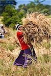 Rice Harvest, Okkampitiya Ihalagama, Sri Lanka