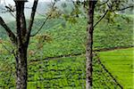 Tea Plantation, Nanu Oya, Central Province, Sri Lanka Stock Photo - Premium Rights-Managed, Artist: R. Ian Lloyd, Code: 700-05642215