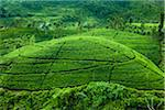 Tea Plantation, Radella, Central Province, Sri Lanka Stock Photo - Premium Rights-Managed, Artist: R. Ian Lloyd, Code: 700-05642221