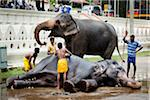Bathing Elephants before Perahera Festival, Kandy, Sri Lanka Stock Photo - Premium Rights-Managed, Artist: R. Ian Lloyd, Code: 700-05642262