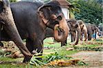 Elephants Eating before Perahera Festival, Kandy, Sri Lanka