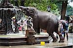 Elephant Being Washed in Public Fountain before Perahera Festival, Kandy, Sri Lanka