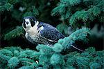 PEREGRINE FALCON Falco peregrinus SITTING ON PINE TREE BRANCH Stock Photo - Premium Rights-Managed, Artist: ClassicStock, Code: 846-05645749