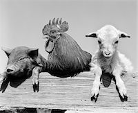 1960s PIGLET ROOSTER LAMB TRIO LEANING ON WOODEN FENCE PIG CHICK SHEEP Stock Photo - Premium Rights-Managednull, Code: 846-05646331