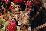 1980s - 1980s TWO KITTENS CLIMBING ON WAGON WHEEL AMID WILD RED ROSES Stock Photo - Premium Rights-Managed, Artist: ClassicStock, Code: 846-05646726