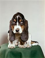 BASSET HOUND PUPPY WITH SOULFUL SAD EYES LOOKING DIRECTLY AHEAD Stock Photo - Premium Rights-Managednull, Code: 846-05646788
