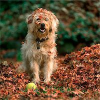 pile leaves playing - 1980s SHAGGY BEIGE AND WHITE DOG Stock Photo - Premium Rights-Managednull, Code: 846-05646819