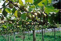 KIWI FRUIT VINES NORTH ISLAND NEW ZEALAND Stock Photo - Premium Rights-Managednull, Code: 846-05646913