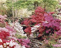 SPRING AZALEA GARDEN WITH FOOT BRIDGE OVER STREAM Stock Photo - Premium Rights-Managednull, Code: 846-05646963