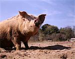 DIRTY PIG WALLOWING IN MUD ON FARM Stock Photo - Premium Rights-Managed, Artist: ClassicStock, Code: 846-05647027
