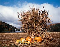 VERMONT FARM CORN FIELD WITH PUMPKINS Stock Photo - Premium Rights-Managednull, Code: 846-05647036