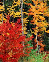 COLORFUL AUTUMN TREES NORTH CONWAY NEW HAMPSHIRE Stock Photo - Premium Rights-Managednull, Code: 846-05647538