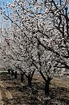 APPLE TREE BLOSSOMS ORCHARD