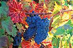 WINE GRAPES ON VINE WITH FALL COLORED LEAVES NAPA VALLEY CALIFORNIA Stock Photo - Premium Rights-Managed, Artist: ClassicStock, Code: 846-05647551