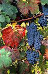 WINE GRAPES ON VINE WITH FALL COLORED LEAVES NAPA VALLEY CALIFORNIA