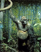 STUFFED SPECIMEN OF MOUNTAIN GORILLA Gorilla beringei beringei IN DIORAMA DISPLAY NATURAL HISTORY MUSEUM TAXIDERMY ENDANGERED SPECIES GREAT APE Stock Photo - Premium Rights-Managednull, Code: 846-05647611