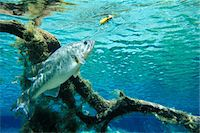 LARGE MOUTH BASS Micropterus salmoides ABOUT TO STRIKE LURE UNDERWATER VIEW Stock Photo - Premium Rights-Managednull, Code: 846-05647614