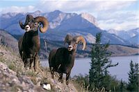 BIG HORN RAM Ovis canadensis NORTH AMERICAN USA Stock Photo - Premium Rights-Managednull, Code: 846-05647627