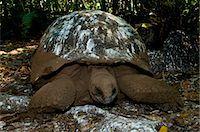 seychelles - Aldabra Giant Tortoise (Aldabrachelys gigantea) resting in shade and covered with bird droppings, Cousin Island, Seychelles Stock Photo - Premium Royalty-Freenull, Code: 682-05650525
