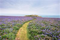 scenic and spring (season) - Footpath and Bluebells, Skomer Island, Pembrokeshire Coast National Park, Pembrokeshire, Wales Stock Photo - Premium Royalty-Freenull, Code: 600-05653043