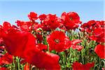 Poppies, Greece Stock Photo - Premium Royalty-Free, Artist: F. Lukasseck, Code: 600-05653231