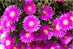 Ice Plant Flowers, Greece Stock Photo - Premium Royalty-Free, Artist: F. Lukasseck, Code: 600-05653233