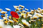 Poppy and Oxeye Daisies, Greece Stock Photo - Premium Royalty-Free, Artist: F. Lukasseck, Code: 600-05653236