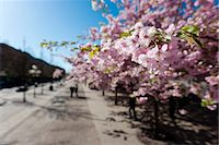 stockholm - Cherry trees in a park Stock Photo - Premium Royalty-Freenull, Code: 6102-05655549