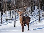 Male Red Deer in winter Stock Photo - Royalty-Free, Artist: ericlefrancais                , Code: 400-05663376
