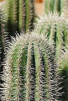 Cardon cacti closeup Stock Photo - Royalty-Freenull, Code: 400-05663646