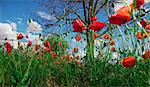 Idilic image of field of poppies Stock Photo - Royalty-Free, Artist: carloscastilla                , Code: 400-05663849