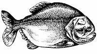 piranha fish - Piranha isolated on white Stock Photo - Royalty-Freenull, Code: 400-05666062