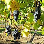 grapevines in vineyard (frankovka), Czech Republic Stock Photo - Royalty-Free, Artist: phbcz                         , Code: 400-05668137
