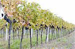vineyard Jecmeniste, Eko Hnizdo, Czech Republic Stock Photo - Royalty-Free, Artist: phbcz                         , Code: 400-05668354