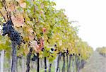 vineyard Jecmeniste, Eko Hnizdo, Czech Republic Stock Photo - Royalty-Free, Artist: phbcz                         , Code: 400-05668355