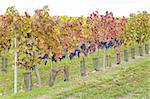 vineyard Jecmeniste, Eko Hnizdo, Czech Republic Stock Photo - Royalty-Free, Artist: phbcz                         , Code: 400-05668362