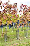 vineyard Jecmeniste, Eko Hnizdo, Czech Republic Stock Photo - Royalty-Free, Artist: phbcz                         , Code: 400-05668365