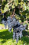 vineyard, Sedlec, Czech Republic Stock Photo - Royalty-Free, Artist: phbcz                         , Code: 400-05668393